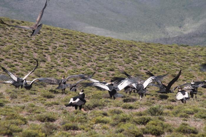 cachi condors